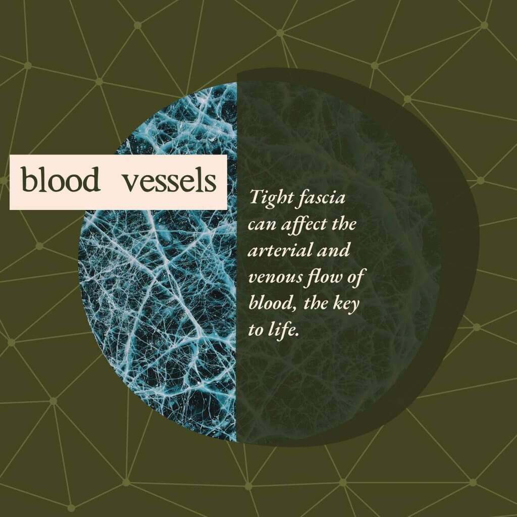 Blood vessels - Gillespie Approach–Craniosacral Fascial Therapy