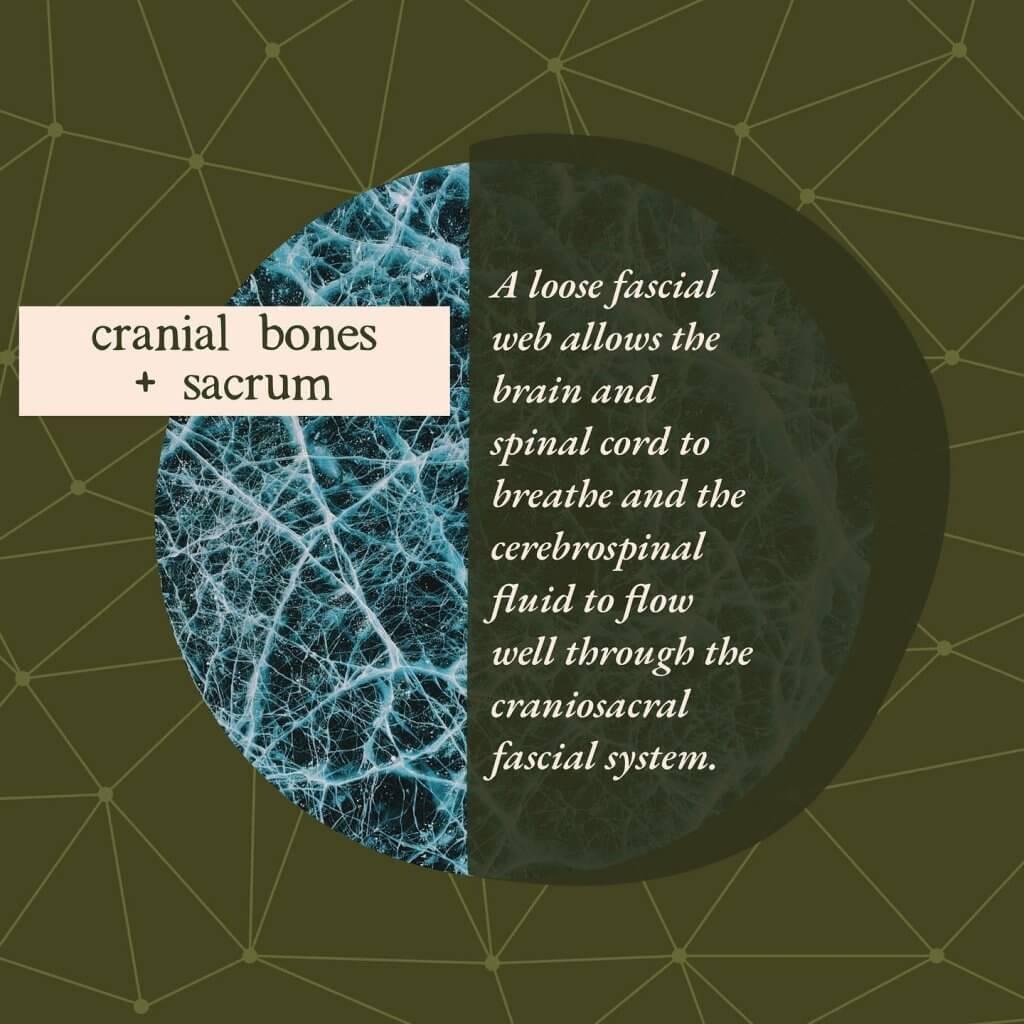 Cranial bones and sacrum - Gillespie Approach–Craniosacral Fascial Therapy