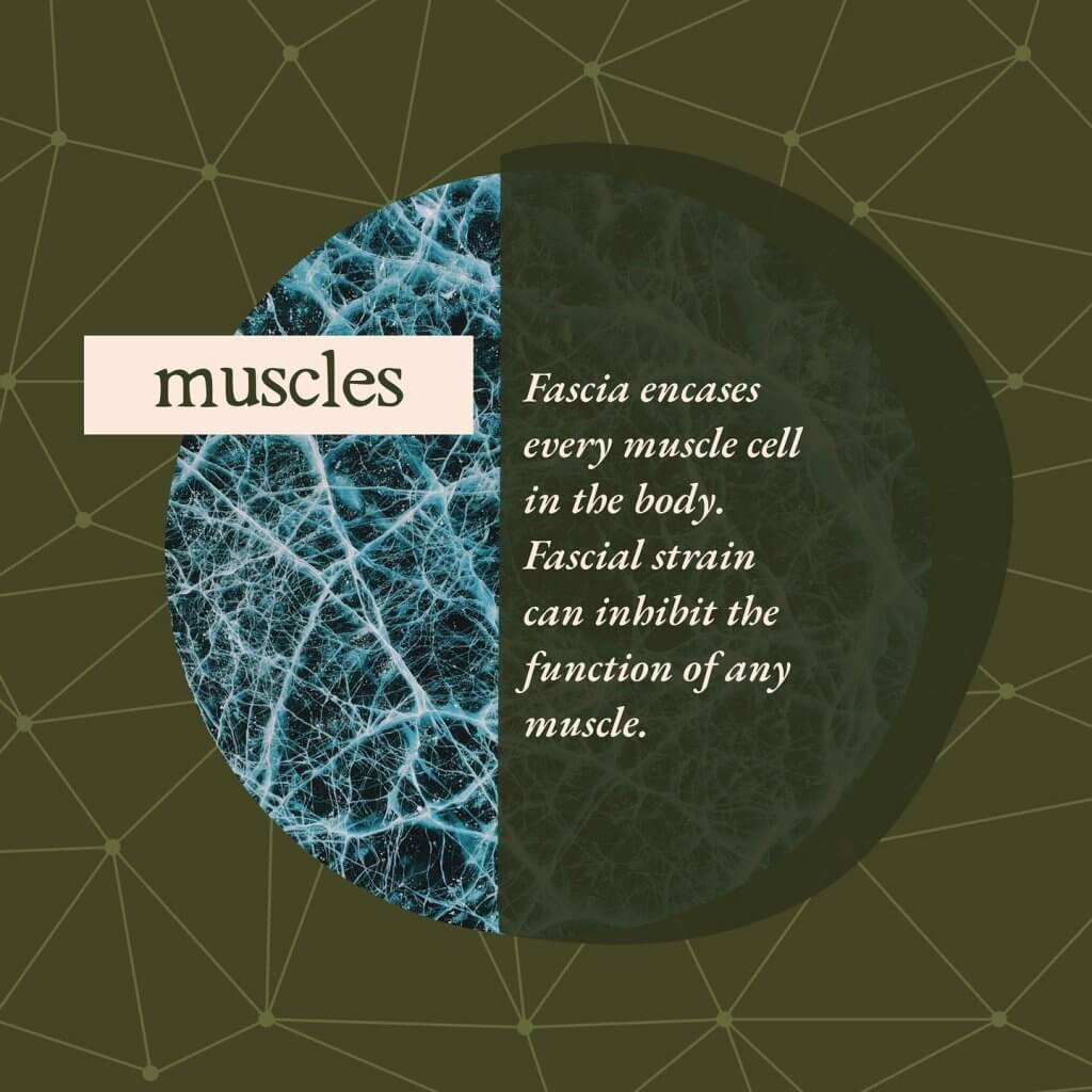 Muscles - Gillespie Approach–Craniosacral Fascial Therapy